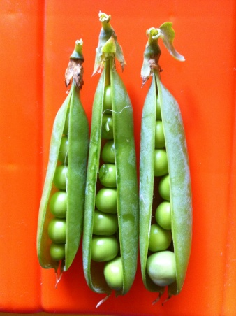 peas from our garden this year